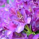 rhododendronMarcelMenard
