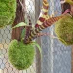 bromelie pěstovaná v mechovém váčku