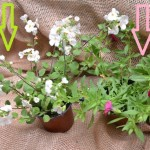 bacopa a million bels