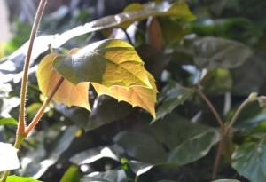 list žumenu ve slunečních paprscích