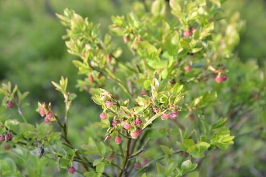 borůvky v květu