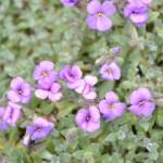 Aubrieta- -tařička zahradní
