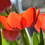 Tulipány v Královské zahradě