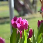 Vázy a tulipány na Pražském hradě