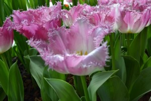 crispa - třepenitý tulipán