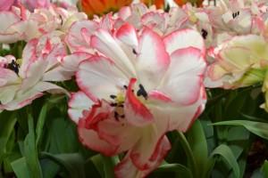 tulipa carouche