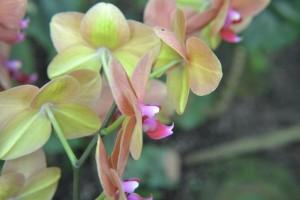 Začneme klasickou Phalaenopsis, krásná je zelená barva na spodu listů