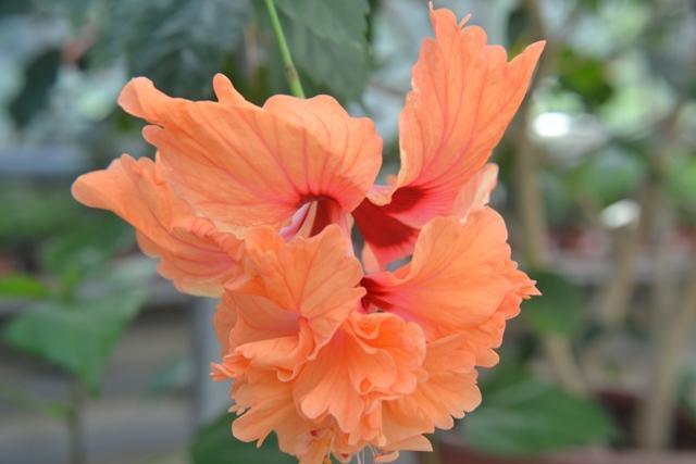 z deset centimetrů velkého trychtýřovitého květu ibišku vyčnívají tyčinky s druhým květem