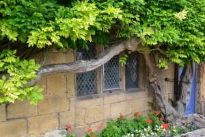okno s wistarií