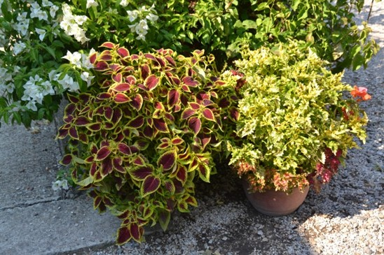 zahradnictví nabízí i oblíbené kopřivěnky