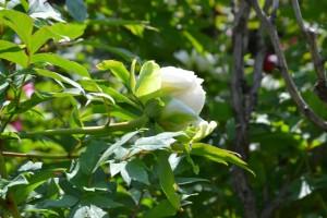 pivoňka křovitá, foto Botanická zahrada Troja