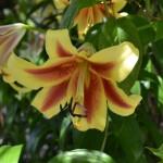 Lilie v Dendrologické zahradě