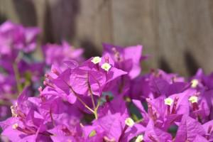 Bougainvillea kvet