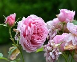 Povídání o růžích