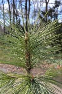 borovice arizonská - Pinus arizonica