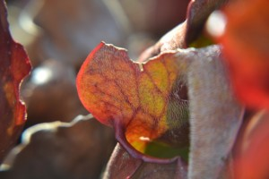 špirlice nachová - Sarracenia purpurea, masožravá rostlina