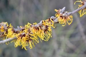 Vilín prostřední - Hamamelis x  intermedia