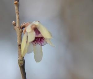 Zimokvět časný - Chimonanthus Praecox, původní v jižní Číně, u nás v zimě kvetoucí okrasný jedovatý keř