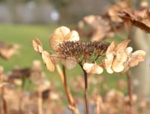 Hortenzie velkolistá - Hydrangea macrophylla