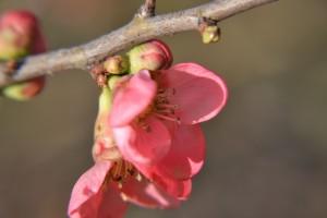 kdoulovec nádherný - Chaenomeles superba, opadavý keř původem z Japonska