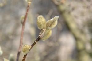šácholan hvězdovitý - Magnolia stellata