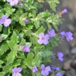 Aubrieta – tařička zahradní