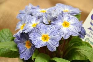 "Primula acaulis ""Zebra Blue"""