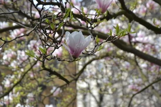 magnolie, foto Botanická zahrada Na Slupi