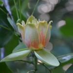 Liliovník tulipánokvětý