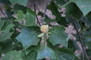 květy rostou na koncích větviček
