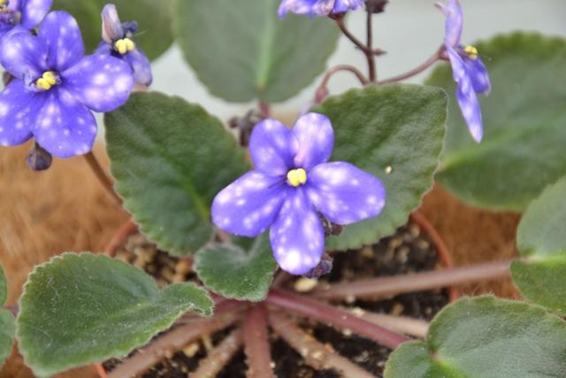 Saintpaulia Ness Blueberry Puff