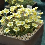 Saxifraga William Boyd