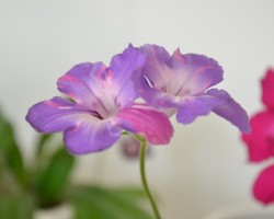 Streptocarpus Bristols party boy