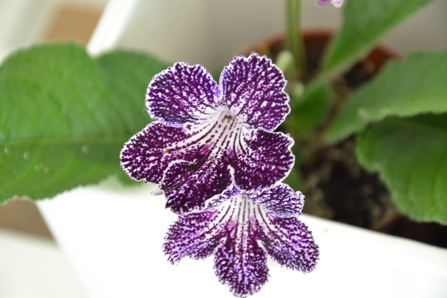 Streptocarpus 'Web of Intrique