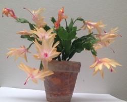 Vanocni kaktus