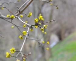 dřín obecný (foto Botanická zahrada Na Slupi)