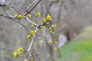 dřín obecný . Cornus mas (foto Botanická zahrada Na Slupi)