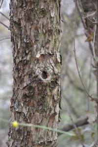 borka  Cornus mas (foto Botanická zahrada Na Slupi)