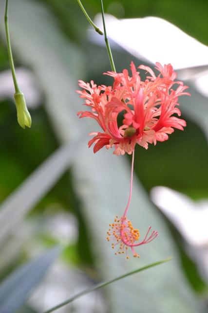 ibišek dřípatkokvětý - Hibiscus schizopetalus