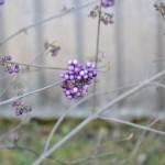 Krásnoplodka Bodinierova