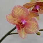 Pokojové orchideje