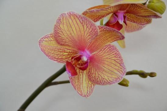 orchidej1