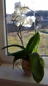 orchidej2