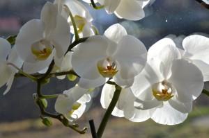 orchidej3