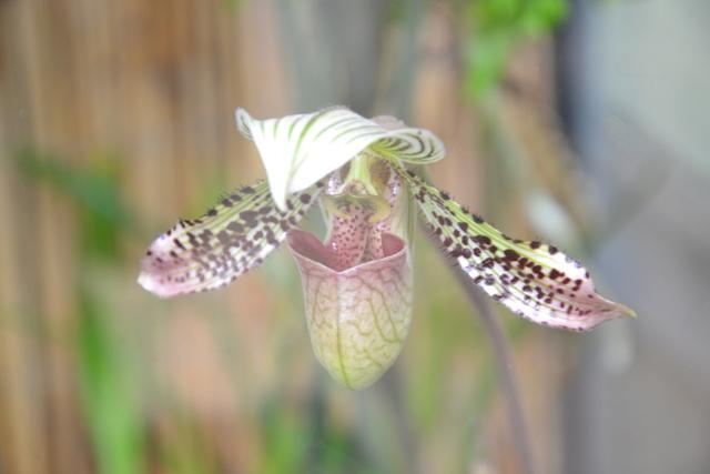 Paphiopedilum argus, foto Fata Morgana