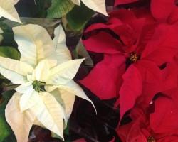 vánočníhvězda1