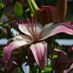 Fotogalerie lilií